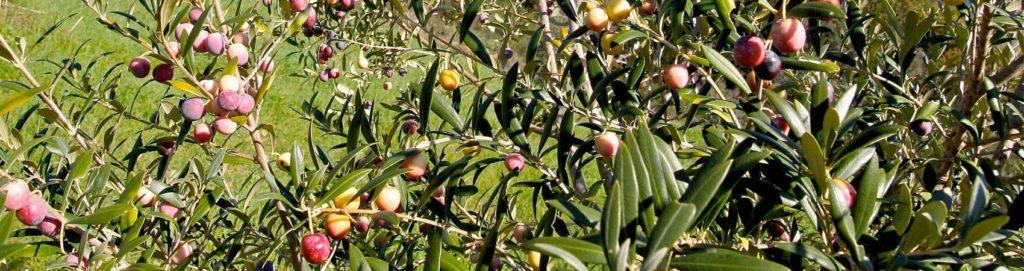Spremitura delle olive