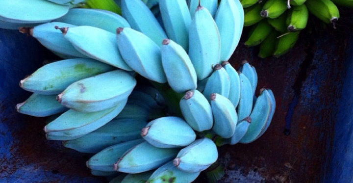 Banana blu: il frutto blu che sa di gelato e che vogliamo assaggiare subito