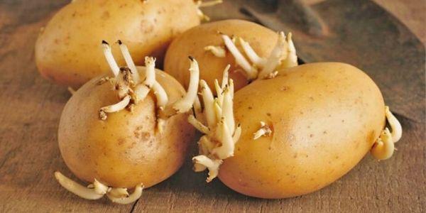 Le patate germogliate, tutto quello che c'è da sapere
