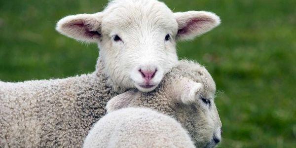 Mangiare o non mangiare l'agnello a Pasqua: parliamone qui