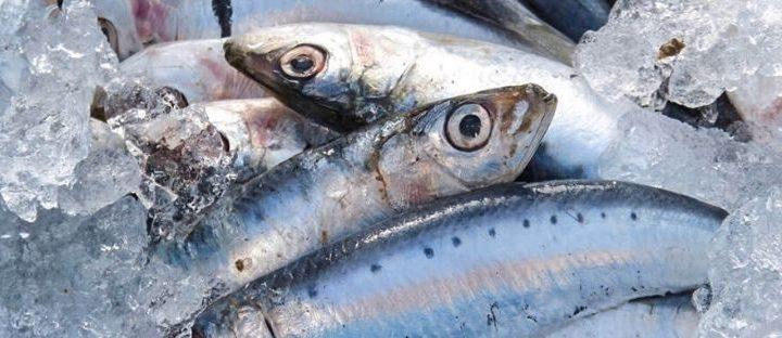 Pesce azzurro: ecco quali sono i pesci azzuri